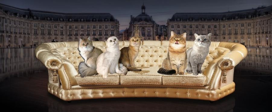 питомник шотландских золотых кошек